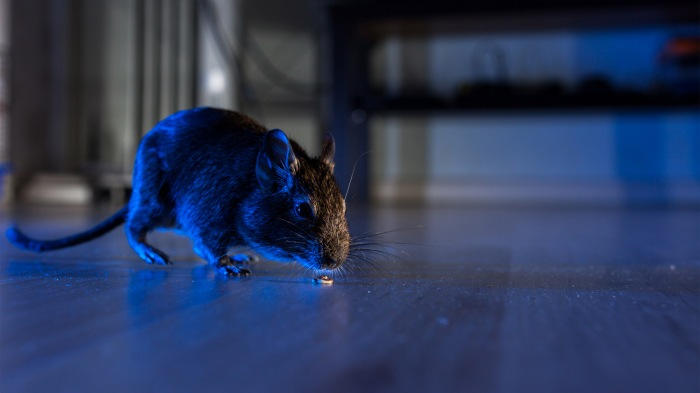 Get Rid Of Rats In Our Homes Made Easy-AGAPEN.1