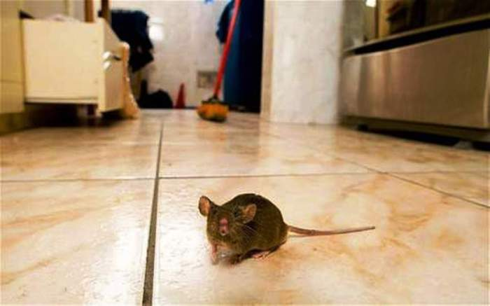 Get Rid Of Rats In Our Homes Made Easy-AGAPEN2